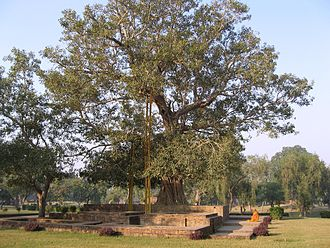 Uttar Pradesh - Anandabodhi tree in Jetavana Monastery, Sravasti