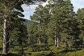 Ancient Caledonian Forest, Glen Tanar - geograph.org.uk - 6992.jpg