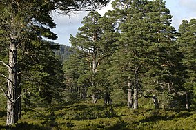 Ancient Caledonian Forest, Glen Tanar - geograph.org.uk - 6992.jpg