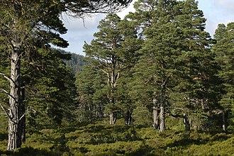 River Dee, Aberdeenshire - Caledonian pine forest, Glen Tanar