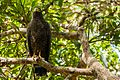 Andaman serpent eagle HS-4487.jpg