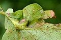 Andricus curvator on Quercus robur (31077324014).jpg