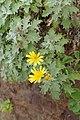 Andryala pinnatifida kz20.jpg