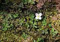 Anemone flaccida (4 sepals s2).jpg
