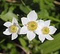 Anemone narcissiflora (flower s5).jpg