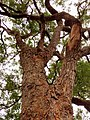 Angophora floribunda - upper branch bark.jpg