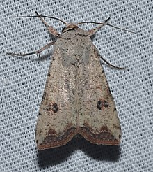 Anicla infecta – Green Cutworm Moth.jpg