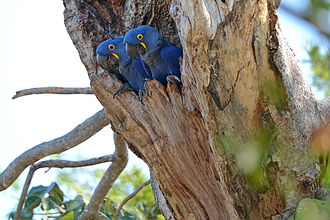 Hyacinth macaw - A pair in their nest