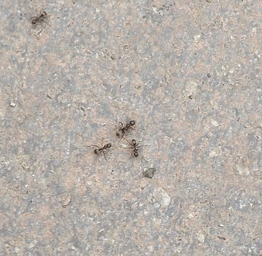 Ant in Gyumri.jpg