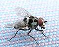 Anthomyia species IMG 2693s.jpg
