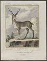 Antilope cervicapra - 1700-1880 - Print - Iconographia Zoologica - Special Collections University of Amsterdam - UBA01 IZ21400033.tif