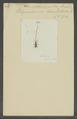 Antliarrhinus - Print - Iconographia Zoologica - Special Collections University of Amsterdam - UBAINV0274 030 03 0054.tif