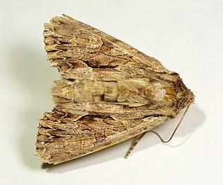 <i>Apamea monoglypha</i> Species of moth