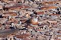Aphelocephala pectoralis -near Strzelecki Track, South Australia, Australia-8.jpg