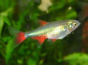Characidae - Aphyocharax anisitsi (Aphyocharacinae)