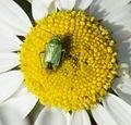 Apolygus lucorum - Flickr - S. Rae.jpg