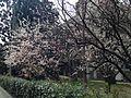 Apricot blossoms in Hakozaki Campus, Kyushu University.JPG
