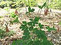 Aquilegia canadensis1.jpg