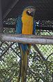 Ara ararauna macaw IGZoopark Visakhapatnam 01.JPG