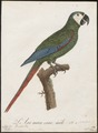 Ara severus - 1796-1808 - Print - Iconographia Zoologica - Special Collections University of Amsterdam - UBA01 IZ18500115.tif