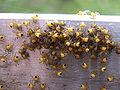 Araneus diadematus Babyspider3.JPG