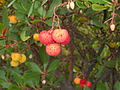 Arbutus unedo tree close-up.jpg