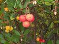 Arbutus unedo tree close-up.jpg