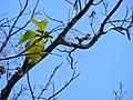 Ardilla comun (Sciurus vulgaris). - panoramio.jpg