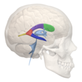 Areas of Lateral ventricle - 02.png