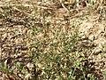 Arenaria serpyllifolia (s. str.) sl20.jpg