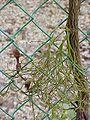 Aristolochia maxima5.jpg