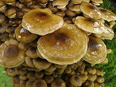 Armillaria mellea closeup.jpg