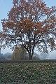 Arnhem-De Laar, boom aan de Randweg in de herfst IMG 2902 2019-11-30 09.12.jpg