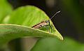 Arocatus montanus (16339951297).jpg