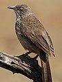 Arrow-marked Babbler, Turdoides jardineii, at Pilanesberg National Park, Northwest Province, South Africa (29645701316).jpg