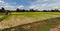 Arrozal, Angkor, Camboya, 2013-08-16, DD 02.JPG