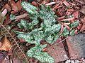 Arum italicum pictum - Flickr - peganum.jpg
