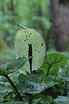 Arum maculatum (34503944031).jpg