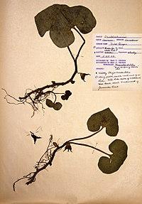 Asarum canadense BW-1966-0522-0938.jpg