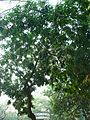 Ashoka tree (372120297).jpg
