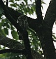 Asian Barred Owlet (Glaucidium cuculoides) at Jayanti, Duars, WB W IMG 5703.jpg