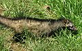 Asian Palm Civet Walking.jpg