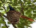Asian Paradise Flycatcher (Terpsiphone paradisi)- Female at nest W IMG 9255.jpg