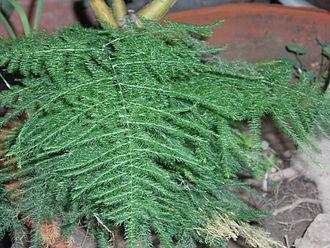 Asparagus (genus) - Asparagus setaceus