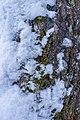 Aspen osp bark.jpg