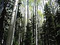 Aspen woods.jpg
