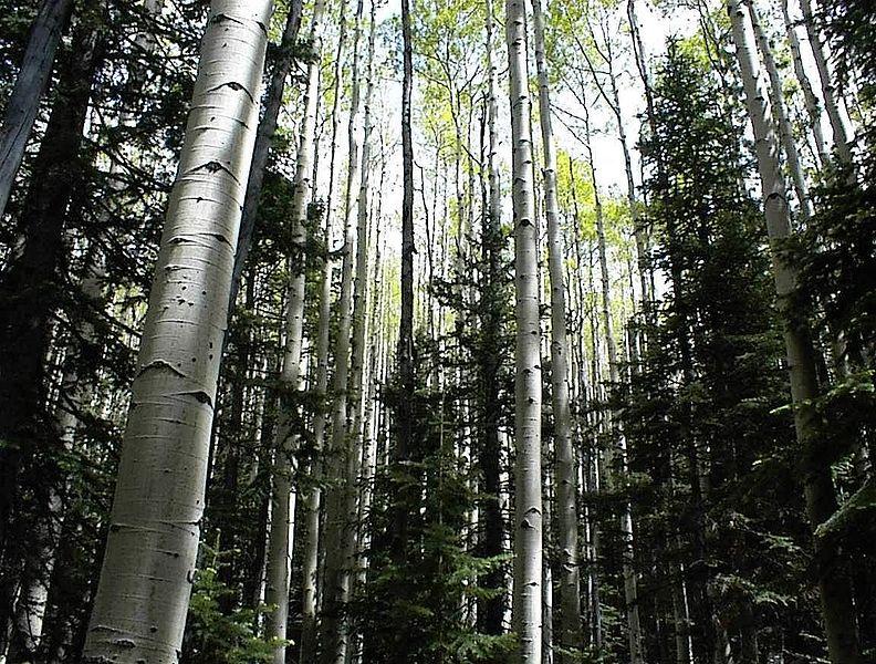 File:Aspen woods.jpg