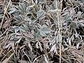 Astragalus gilviflorus (3307780837).jpg