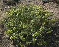 Astragalus lentiginosus 8.jpg