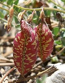 Astragalus oophorus var clokeyanus 4.jpg